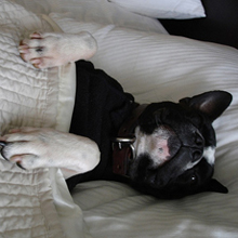 boston terrier in bed