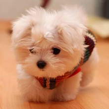 nmaltese puppy